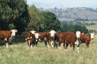 obrien_cows_steers_testimonials_200px_web